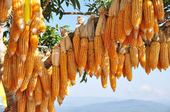 Hanging Corn at outdoor Royalty Free Stock Images