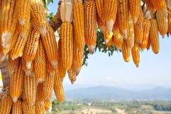 Hanging Corn at outdoor Stock Photo