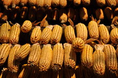 Hanging Corncobs Royalty Free Stock Images