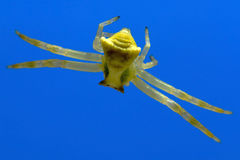 Hanging Crab Spider Stock Photos