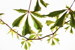 Decorative woodbine liane with leaves. Hanging decorative woodbine liane or virginia creeper, five - finger, virgin-ivy called too with leaves. Closeup Stock Image