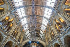 Hanging dinosaur fossil in National History Museum taken in London royalty free stock photos