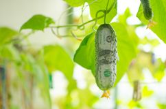 A hanging dollar cucumber grown in house on sunny summer day. A hanging dollar cucumber grown in a house on a balcony on a sunny summer day. The concept of Stock Photos