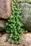 Hanging down sedum. Stock Photos