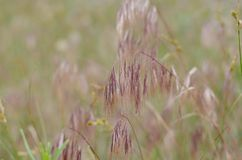 Purple spikelets of wild herbs. Soft background. Blur around the edges. royalty free stock image