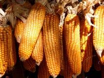 Hanging dried corns Stock Photos