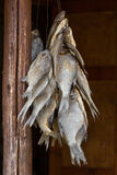 Hanging dried fish Royalty Free Stock Image