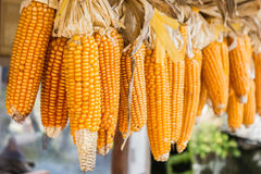 Hanging Dry corn cob . Royalty Free Stock Images