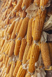 Hanging dry corn  in farm Stock Images