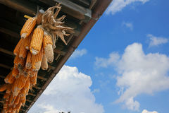 Hanging dry corn  in farm o blue sky background Royalty Free Stock Photo