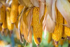 Hanging and drying yellow corn Stock Image