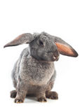 Hanging ears. Image of rabbit is sitting over white (muzzle, ears and breast in focus Stock Photography