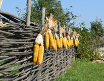 Hanging ears of yellow corn Royalty Free Stock Image