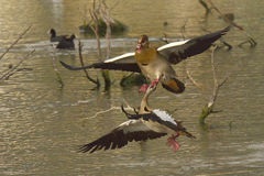 Hanging on. Egyptian Goose biting intruder during territorial fight on natural waterpan in South Africa Royalty Free Stock Photos