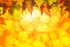 Hanging Fall Maple Tree Leaves Background. Hanging Fall Maple Tree Leaves Border Isolated on White Background Stock Photography
