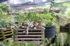 Hanging fern with hairy roots in timber holder Stock Photos
