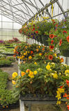 Hanging Flower Baskets in a Greenhouse Royalty Free Stock Photography