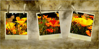 Hanging Flower Photos. Three old vintage retro photos of bright poppy flowers hanging on rope with clothespins on light brown background Royalty Free Stock Photo