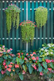 Hanging flower pot and flamingo flower spadix shrubs with wooden green fence background. Beautiful bright green and red color tone Stock Photos