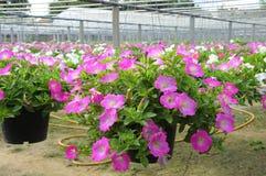 Hanging flower pot Stock Image