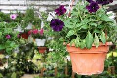 Hanging flower pots in greenhouse garden Stock Image