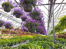 Hanging flower pots in greenhouse Stock Image