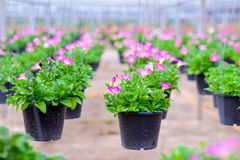Hanging flower pots Royalty Free Stock Photos