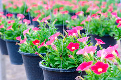 Hanging flower pots Stock Images
