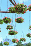 Hanging flower in the pots Royalty Free Stock Photos
