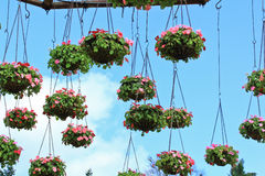 Hanging flower in the pots Royalty Free Stock Image