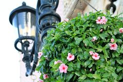 Hanging flower potted plant in bloom stock image