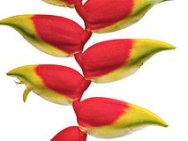 Red and yellow flower of a heliconia stock photos