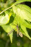 Hanging fly Royalty Free Stock Images