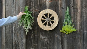 Hanging fresh medical herbs bunch on wooden wall stock video