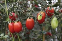 Hanging fresh ripe tomatoes Stock Photography