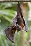 Hanging Fruit Bat Stock Image