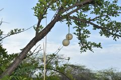 HANGING FRUITS IN THE FOREST stock photos