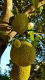 Jackfruit on a Tree in Tropical surrounding stock image