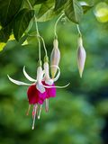 Hanging fuchsia with bokeh, green background. Backlit buds and blooms of hanging fuchsia flowers, resembling dancers in pink skirts stock photos