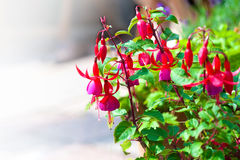Hanging fuchsia growing in the garden Royalty Free Stock Photos