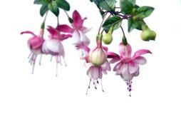 Hanging fuchsia plant. Baby pink fuchsia flowers on white royalty free stock photos