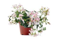 Hanging geraniums Stock Image