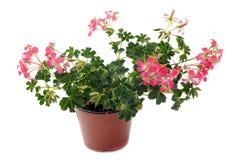 Hanging geraniums Stock Photo