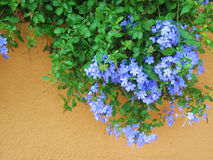 Hanging Geraniums. Pretty purple / blue hanging geraniums stock image