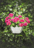 Hanging geraniums in pot on background of green ivy Stock Photography
