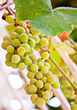 Hanging grape juicy natural fruit food Stock Photography