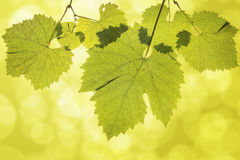 Hanging Grape Leaves on Green Background Stock Image