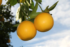 Hanging Grapefruit. Two grapefruit hang in a sunny orchard. Focus is on the fruit Stock Images