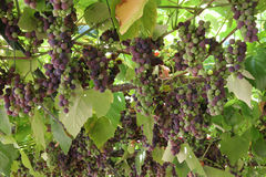 Hanging grapes. Grapes hanging down Royalty Free Stock Photos