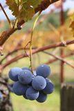 Hanging Grapes. Grapes growing in a vineyard stock images